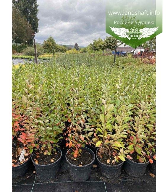 Cotoneaster lucidus Кизильник блестящий, в горшке 2л.