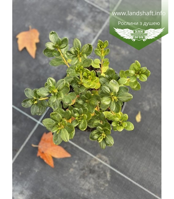 Azalea japonica 'Schneeperle' Азалия японская, в горшке 2л.