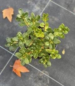 Azalea japonica 'Schneeperle', Азалія японська 'Шнееперле' в горщику 2л.