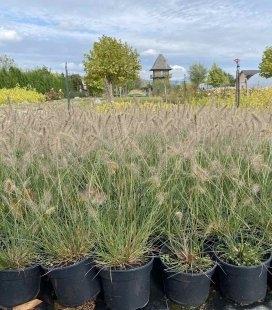 Pennisetum alopecuroides 'Little Bunny', Пеннисетум лисохвостовый 'Литтл Банни', с доставкой по Украине.