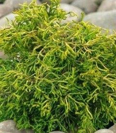 Chamaecyparis obtusa 'Tsatsumi Gold', Кипарисовик туполистий 'Цацумі Голд'