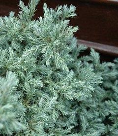 Chamaecyparis pisifera 'Baby Blue', Кипарисовик горохоплідний 'Бейбі Блу'