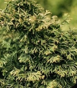 Chamaecyparis obtusa 'Brian', Кипарисовик туполистный 'Браен'