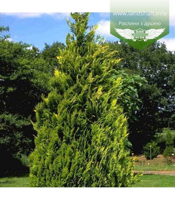 Chamaecyparis lawsoniana 'Alumigold' Кипарисовик Лавсона