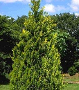 Chamaecyparis lawsoniana 'Alumigold', Кипарисовик Лавсона 'Алюміголд'