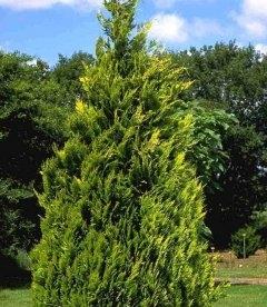 Chamaecyparis lawsoniana 'Alumigold', Кипарисовик Лавсона 'Алюмиголд'
