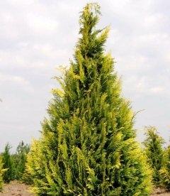 Chamaecyparis lawsoniana 'Ivonne', Кипарисовик Лавсона 'Ивон'