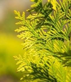 Chamaecyparis lawsoniana 'Ivonne', Кипарисовик Лавсона 'Івонн'