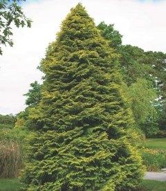 Chamaecyparis lawsoniana 'Lane', Кипарисовик Лавсона 'Лейн'