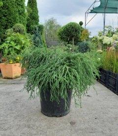 Chamaecyparis pisifera 'Sungold', Кипарисовик горохоплідний 'Санголд'