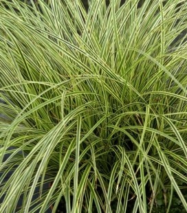 Carex brunnea 'Aureomarginata', Осока коричнувата 'Ауреомаргіната'