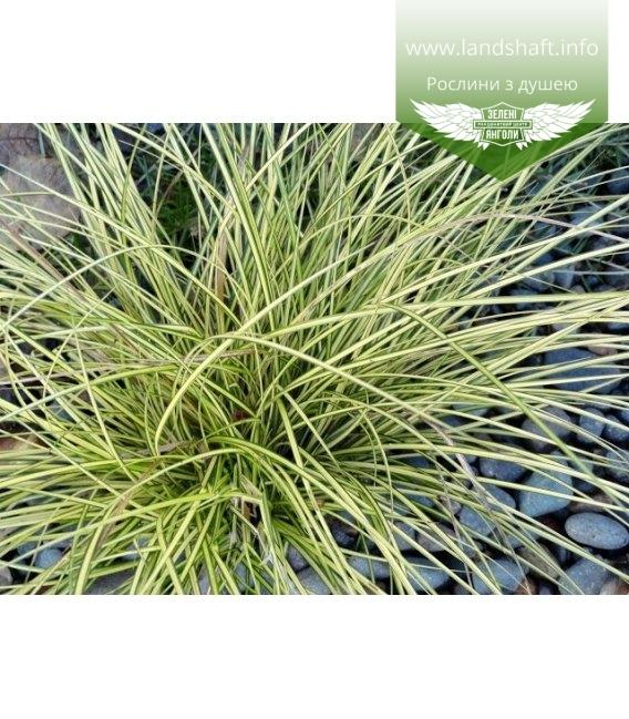 Carex brunnea 'Aureomarginata', Осока коричневатая 'Ауреомаргината'