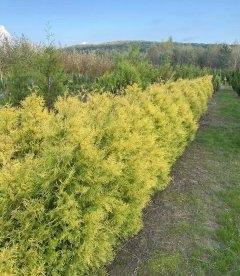 Thuja occidentalis 'Rheingold' Туя западная 'Рейнголд' живая изгородь.