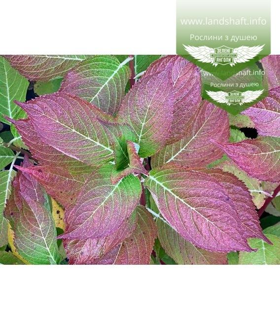 Hydrangea macrophylla, Гортензія крупнолиста червонолиста восени.