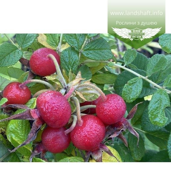 Rosa rugosa 'Rubra' Шиповник морщинистый 'Рубра' плоды.