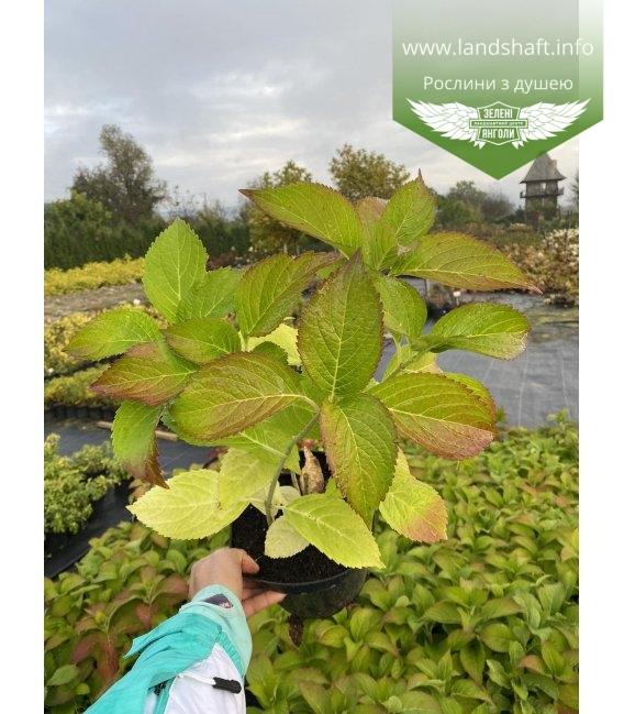 Hydrangea macrophyla Гортензия крупнолистная, осенью октября 2020.