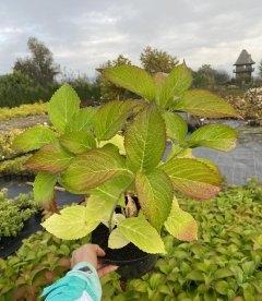 Hydrangea macrophylla mix, Гортензія крупнолиста в асортименті восени Жовтень 2020.