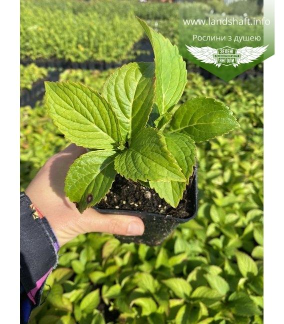 Hydrangea macrophyla Гортензия крупнолистная, с доставкой по Украине.
