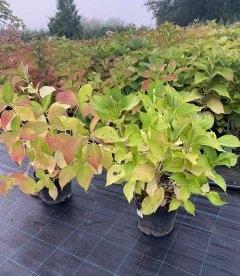 Hydrangea macrophylla mix, Гортензія крупнолиста, в горщику 5л.
