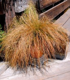 Carex testacea, Осока терракотовая