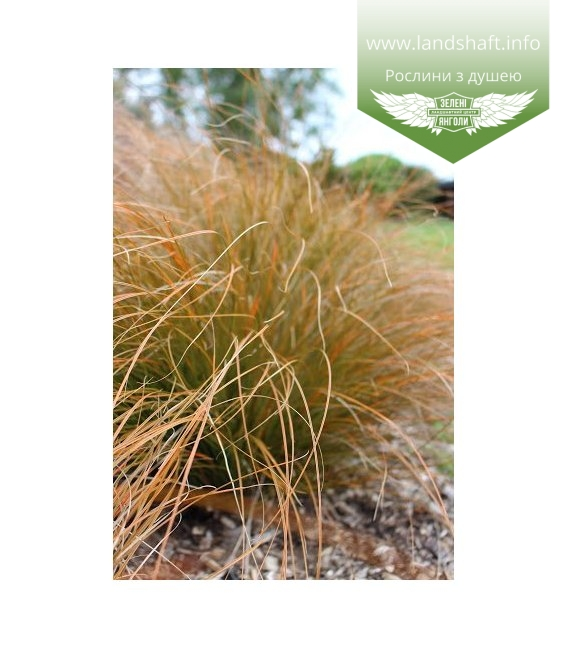 Carex testacea, Осока теракотова