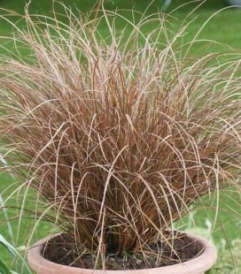 Carex petriei 'Milk Chocolate', Осока Петри 'Милк Чоколэйт'