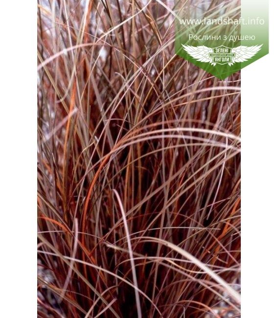 Carex petriei 'Milk Chocolate', Осока Петри 'Милк Чоклейт'