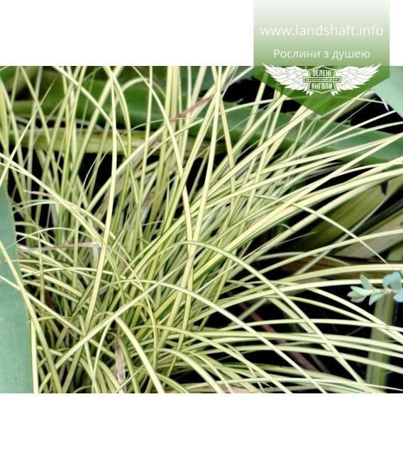 Carex brunnea 'Jenneke', Осока коричнувата 'Дженеке'