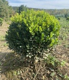 Самшит вічнозелений 'Суфрутікоза' формований
