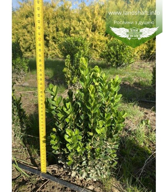 Самшит вечнозеленый 'Суффрутикоса' высота 25-30см