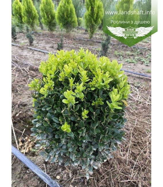 Самшит вечнозеленый 'Суффрутикоса' формированный, шар