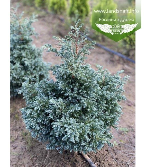 Кипарисовик горохоплодный Бульвард с корневым комом 40-60