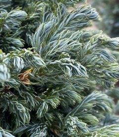 Кипарисовик горохоплідний 'Бульвард' вигляд хвої