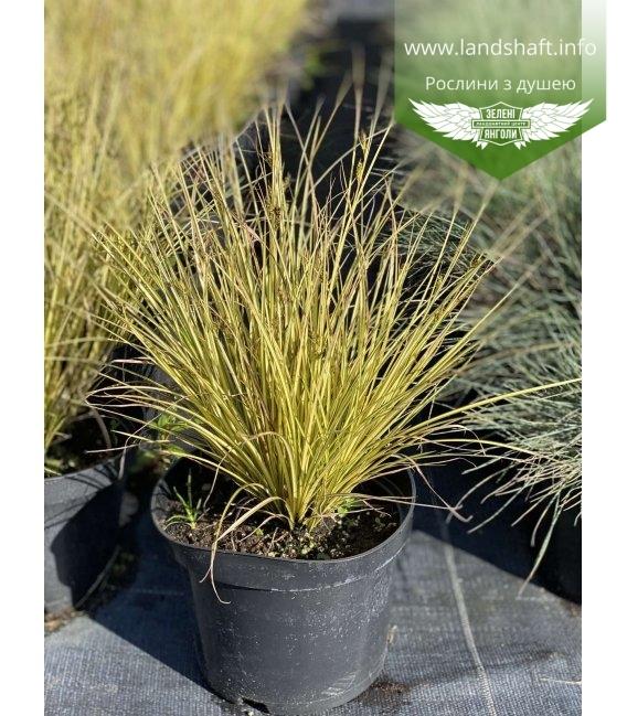 Carex brunnea 'Jenneke', Осока коричнувата 'Дженеке' в горщику 2л.
