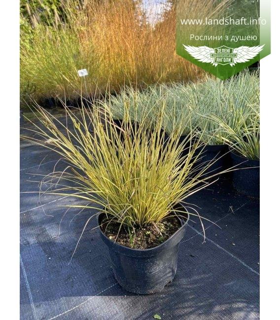 Carex brunnea 'Jenneke', Осока коричнувата 'Дженеке' з розсадника. в горщику 2л.