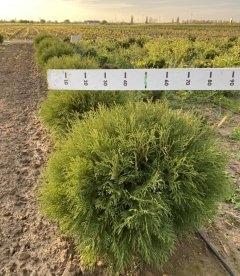 Thuja occidentalis 'Globosa', Туя західна 'Глобоза' з кореневим комом WRB D 60-70см.
