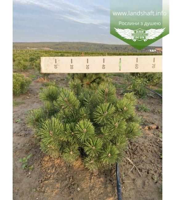 Pinus mugo uncinata, Сосна гірська гачкувата з кореневим комом WRB D 50-60см.