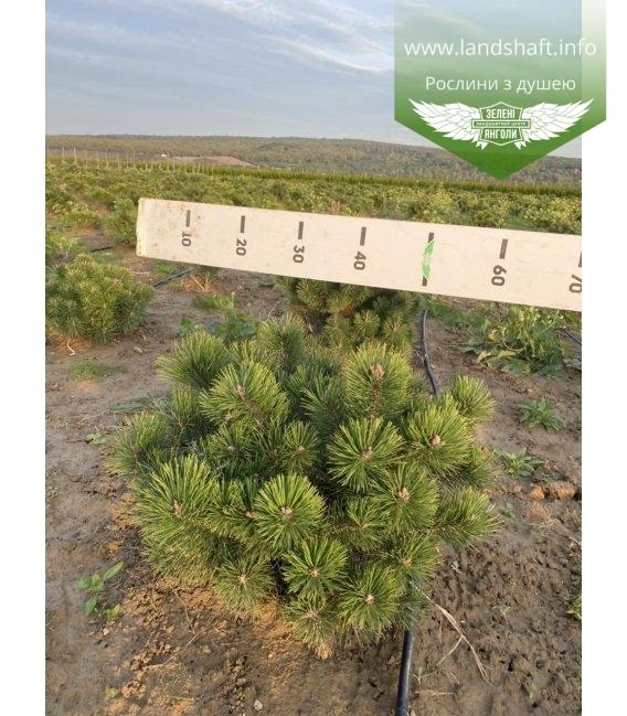 Pinus mugo uncinata, Сосна гірська гачкувата з розсадника.