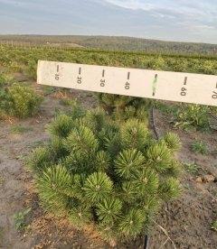 Pinus mugo uncinata, Сосна горная крючковатая
