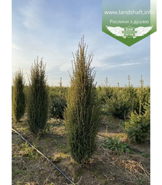 Juniperus communis 'Sentinel', Ялівець звичайний 'Сентінел' з доставкою по Україні.