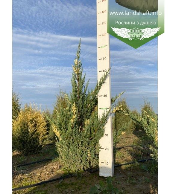 Juniperus chinensis 'Stricta Variegata', Ялівець китайський 'Стрікта Варієгата' з розсадника.