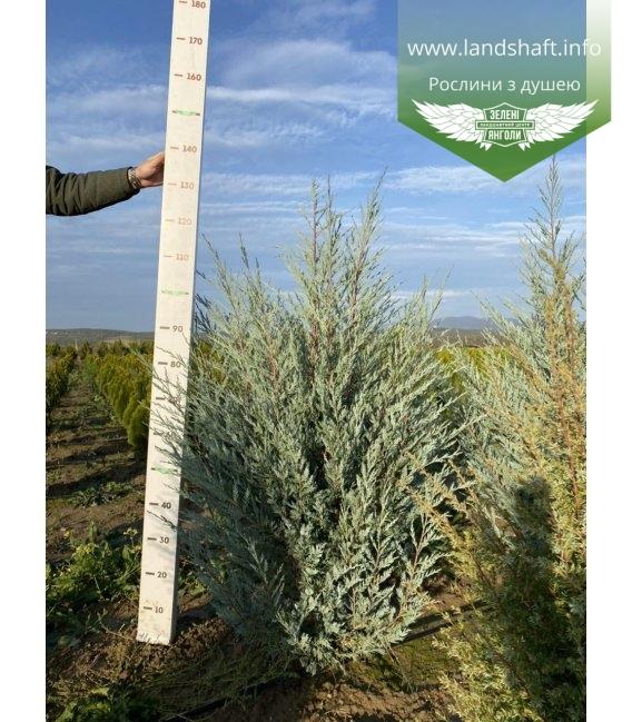Juniperus scopulorum 'Moonlight', Ялівець скельний 'Мунлайт'.