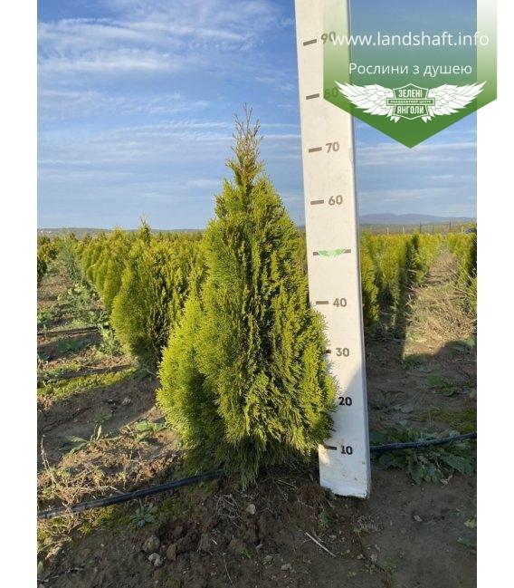 Thuja occidentalis 'Golden Smaragd' Туя западная Голден Смарагд с корневым комом WRB 60-80см