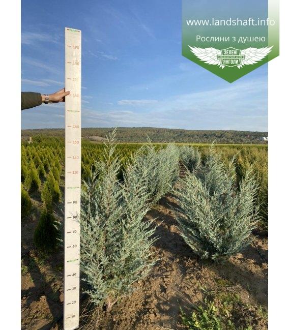 Juniperus scopulorum 'Moonlight', Ялівець скельний 'Мунлайт'