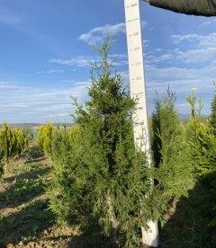 Thuja occidentalis 'Aureospicata' Туя западная Ауреоспіката с питомника.