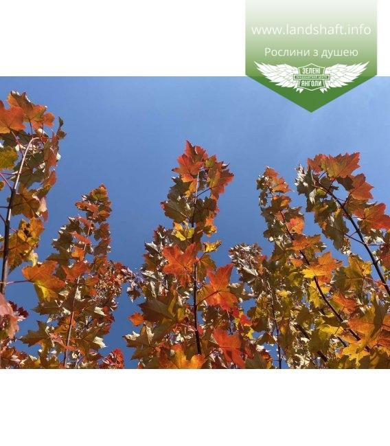 Acer rubrum 'Burgundy Belle', Клен червоний 'Бургунді Бель' яскраві дерева восени.