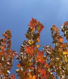 Acer rubrum 'Burgundy Belle', Клен красный 'Бургунди Бэль' яркие деревья осенью.