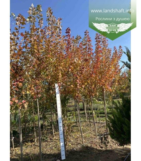 Acer rubrum 'Burgundy Belle', Клен червоний 'Бургунді Бель' TG 10-12см.