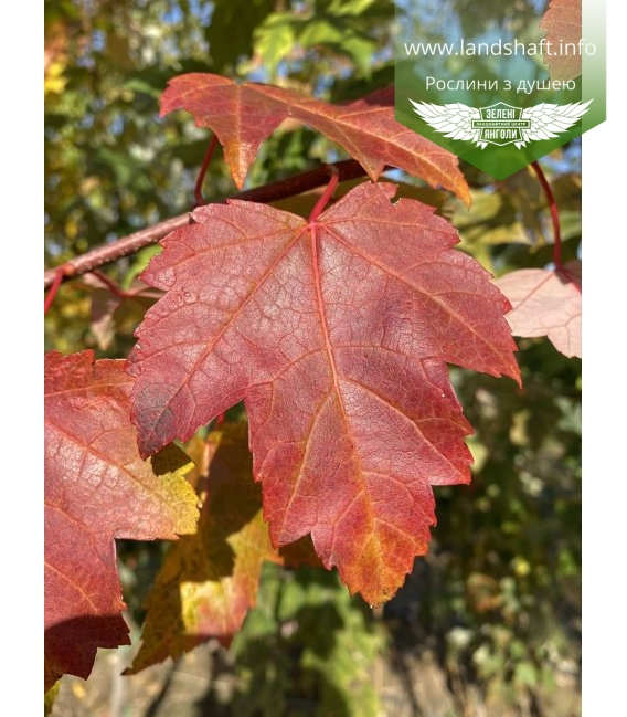 Acer rubrum 'Burgundy Belle', Клен червоний 'Бургунді Бель' окрас листви..