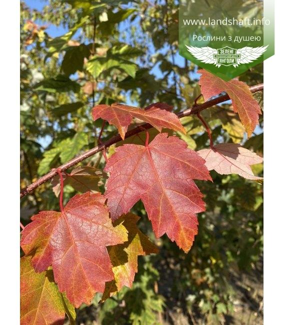 Acer rubrum 'Burgundy Belle', Клен красный 'Бургунди Бэль' осенью.